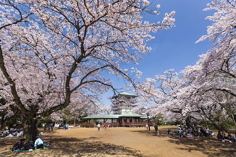 生田緑地で花見